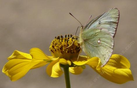 Bidens laevis Joaquin Sunflower, with Colias eurytheme, Alfalfa Butterfly - grid24_12