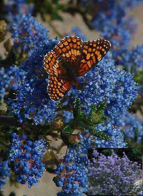 Ceanothus Julia Phelps with a Checkerspot Butterfly