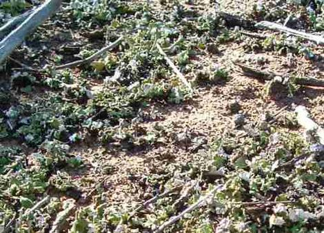 Blue Green Algae and Lichen in clean soil in Coastal sage scrub. Many plant communities used to rely on lichens for much of the soil nutrition. Now weeds have replaces this. - grid24_12