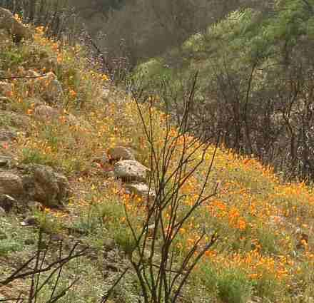 A natural recovery of a California ecosystem after a fire.NO grasses or weeds. - grid24_12