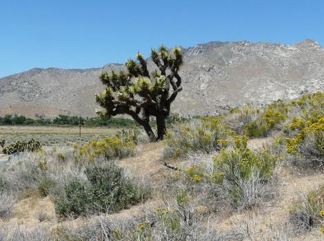Joshua tree, Yucca brevifolia out by Onyx.