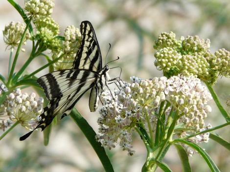 Asclepias fascicularis, Narrow-leaf milkweed with Swallowtail butterfly - grid24_12