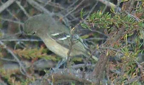 Ruby Crowned Kinglet in the chaparral - grid24_12