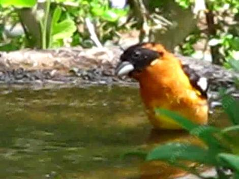 Pheucticus melanocephalus, male Black headed grosbeak in the bath. - grid24_12