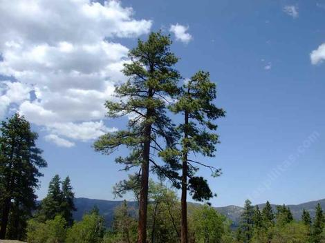 A couple of Pinus jeffreyii pines above Big Bear. - grid24_12