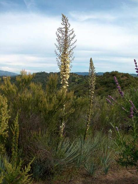 Yucca in the chaparral plant community. - grid24_12