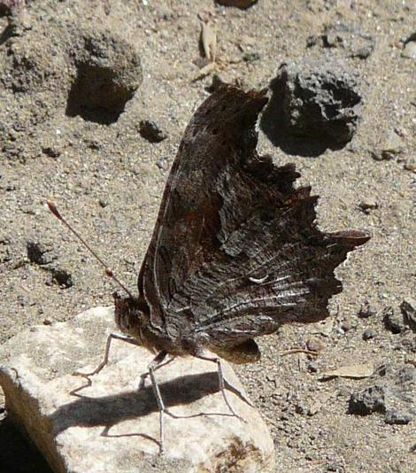 Side view of Hoary Comma, Polygonia graclis above Big Bear at about 7000 ft. - grid24_12