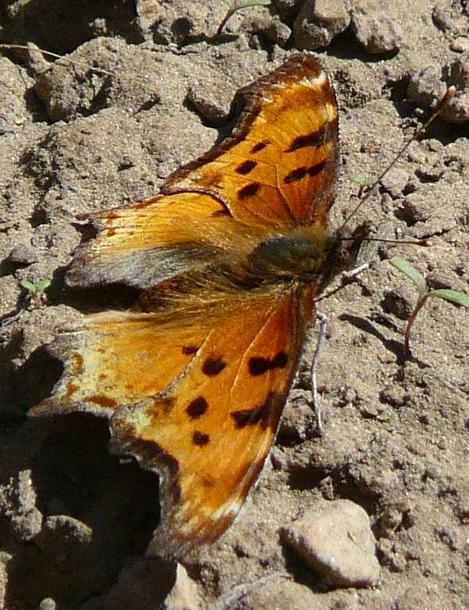 Hoary Comma, Polygonia graclis above Big Bear at 7000 ft. There were a lot of Ribes cereum and Ribes nevadense - grid24_12