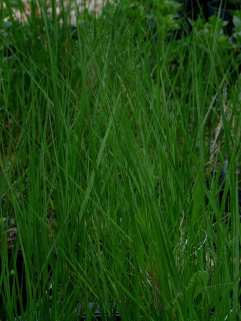 green California native grass, Agrostis pallens