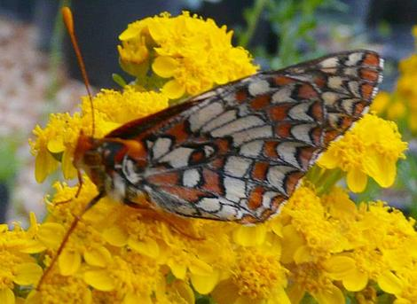 A variable Checkerspot on an Eriophyllum confertiflorum