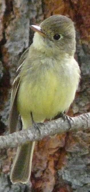 A male Pacific-slope flycatcher, Empidonax difficilis - grid24_12