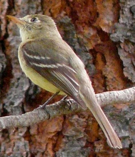 Pacific-slope flycatcher, Empidonax difficilis, with the orange bottom beak. - grid24_12