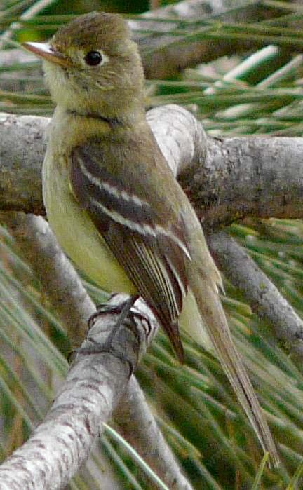 Pacific-slope flycatcher, Empidonax difficilis on alert. - grid24_12