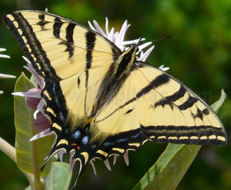 The Pale Swallowtail, Papilio eurymedon or Western Tiger Swallowtail, Papillo rutulus, only his mother knows - grid24_12