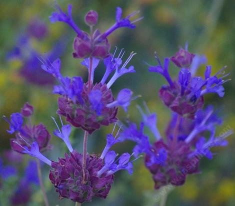 Salvia Celestial Blue is REALLY blue. Native plants are wonderfully fragrant and colorful. Celestial Blue has grown into a six ft. bush with no irrigation in both Los Angeles and San Diego. You'll have to water it a few times to start it, but then it's a natural! - grid24_12