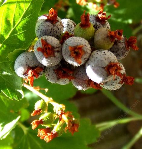 Ribes nevadense berries - grid24_12