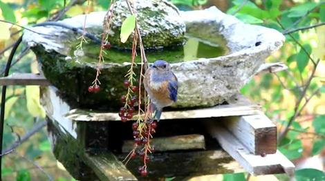 Western Bluebird, Sialia mexicana,  eating Black Chokecherries - grid24_12