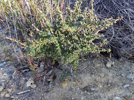 Ceanothus otayensis plants are small. This one is years old and about 20 cm high. - grid24_12