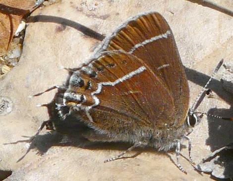 Callophrys (Mitoura spinetorum, Thicket hairstreak side view - grid24_12