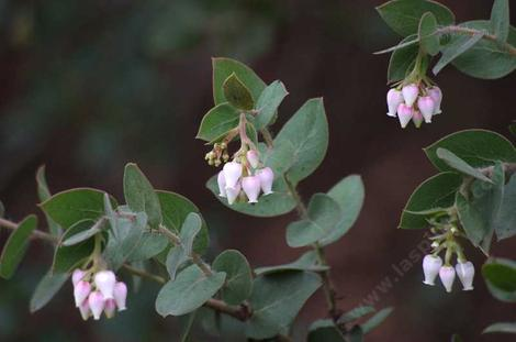 Arctostaphylos pechoensis, Pecho manzanita, showing the clasping leaves. - grid24_12