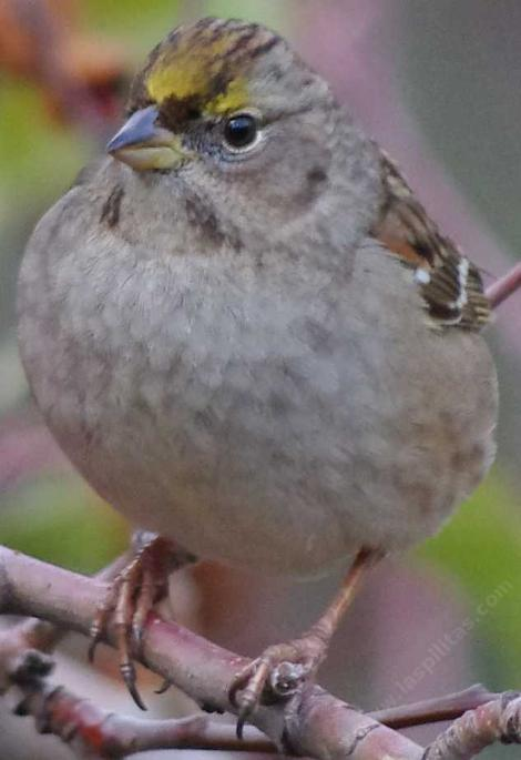 Golden-crowned Sparrow. Zonotrichia atricapilla  - grid24_12