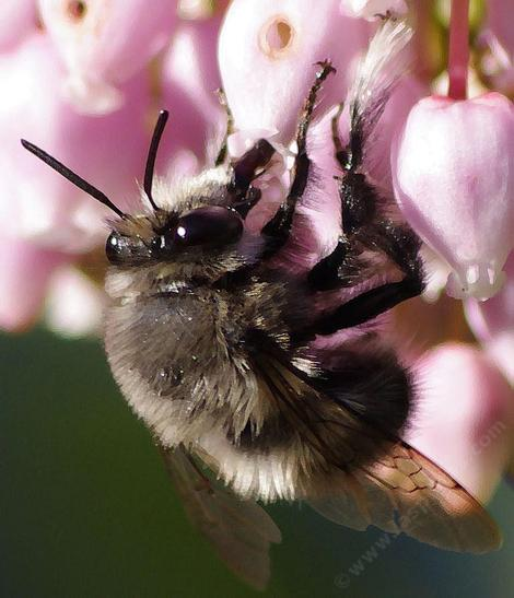 Anthophora spcies, a Digger Bee on Austin Griffin - grid24_12