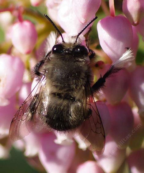 The back side of a Digger Bee, Anthophora species - grid24_12