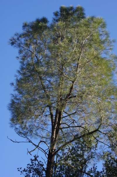 Looking up into a digger pine, gray pine, foothill pine, Pinus sabinana - grid24_12