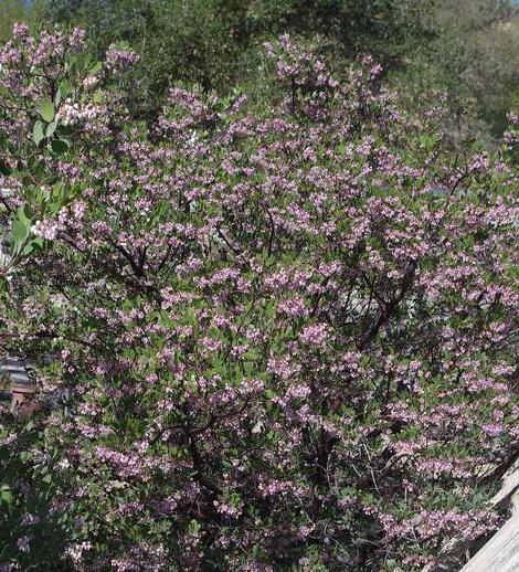 Baby Bear manzanita bush is covered with pink  flowers the hummingbirds and native insects like. Quite a hedge plant. - grid24_12