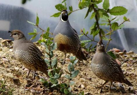 Three California Quail, Callipepla californica. Yes they are alive and fine. - grid24_12