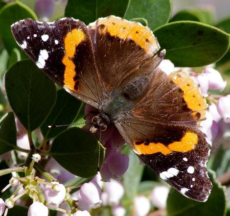 Open winged Red Admiral Butterfly, (Vanessa atalanta) on a Austin Griffin manzanita. - grid24_12