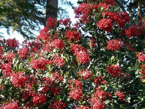 Christmas berry or Toyon with berries is what Hollywood was named after. Toyon will grow in most of Los Angeles with no water after first year. - grid24_12