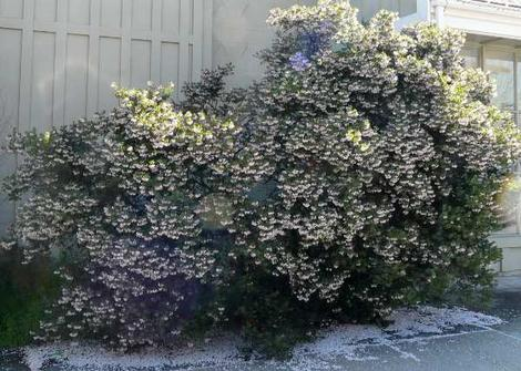 Arctostaphylos densiflora, Sentinel Manzanita works well as a low hedge or foundation plant. - grid24_12