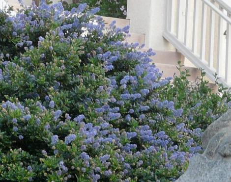 Ceanothus Joyce Coulter in a San Francisco garden. - grid24_12