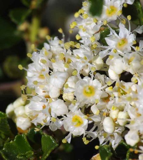 Ceanothus rigidus snowball white monterey lilac ceanothus rigidus snowball white monterey lilac flowers mightylinksfo