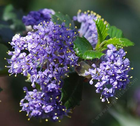 Close up of Ceanothus Mill's Glory flowers. Un-watered California native plants can better than watered non-native plants. - grid24_12