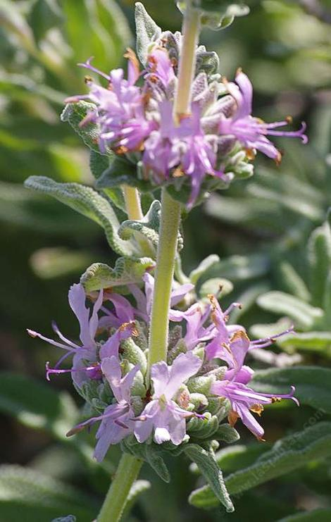 Salvia leucophylla Point Sal, Purple sage flowers - grid24_12