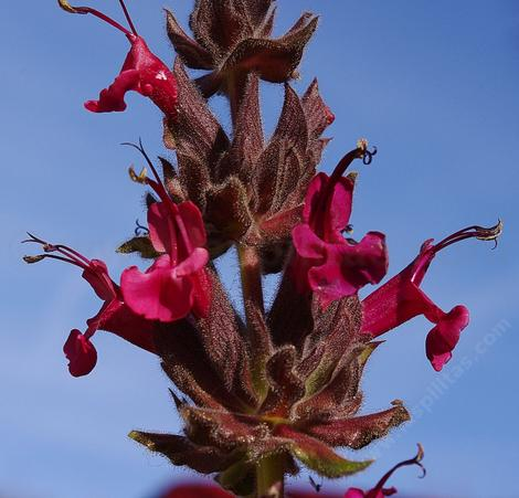 Salvia spathacea, Hummingbird Sage, don't the flowers  look edible? - grid24_12