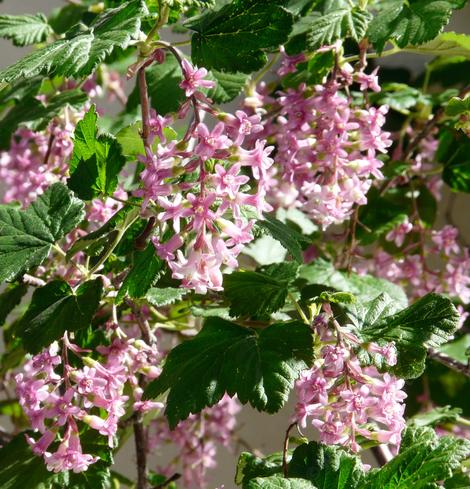 Ribes sanguineum glutinosum,  Pink-Flowered Currant.  with masses of pink flowers - grid24_12