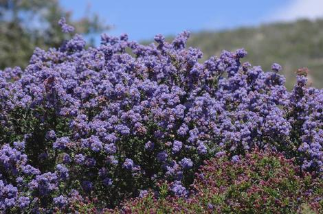 Ceanothus Julia Phelps with purple flowers behind Ceanothus Celestial Blue. - grid24_12