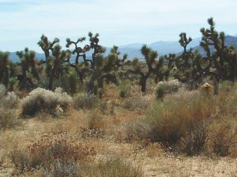 Joshua Tree Woodland with cottonthorn and Interior Buckwheat - grid24_12