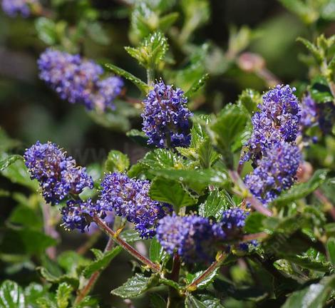 Ceanothus tomentosus, Woolly Leaf Mtn. Lilac has deep blue flowers.