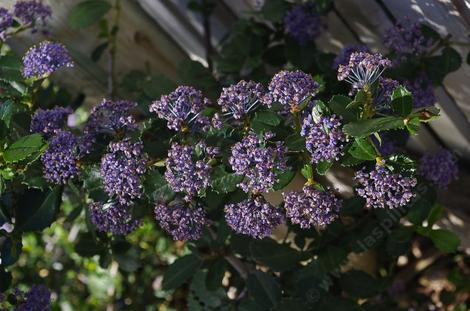 Ceanothus gloriosus Hearts Desire groundcover Mountain Lilac sprawls along at about one tall. - grid24_12