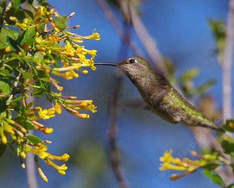 Ribes aureum gracillimum, Golden Currant with Anna Hummingbird. This native plant grows on the north slopes of Malibu, Latigo,  and through the Los Angeles Basin; San Gabriel Valley. - grid24_12