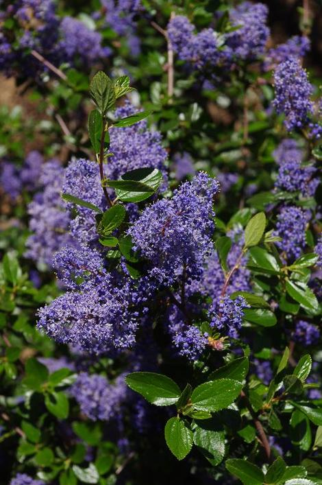 Ceanothus oliganthus oliganthus close up of flower. - grid24_12
