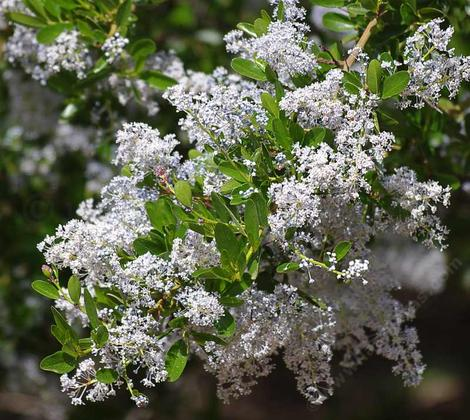 Ceanothus spinosus,  Red-Heart Mountain Lilac. flowers - grid24_12