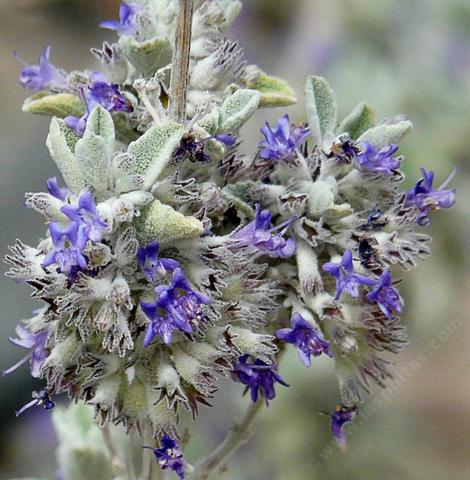 Hyptis emoryi, Desert Lavender flowers are fragrant and the foliage is fragrant. Drought resistant, but not frost tolerant Desert Lavender grows in washes east of Barstow. - grid24_12