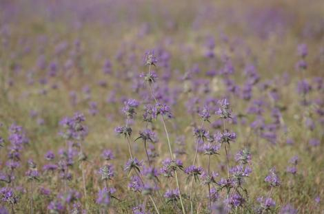 A field of Thistle Sage - grid24_12