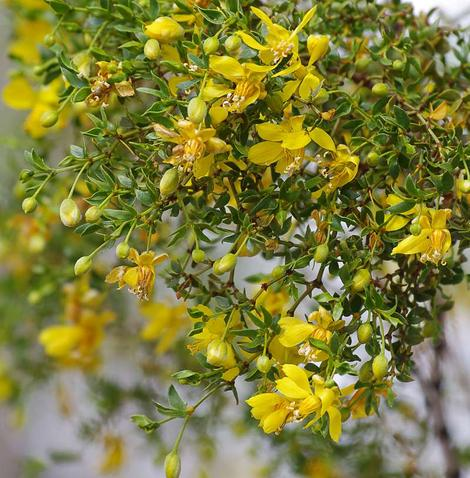 Larrea tridentata (creosote bush) on a dry year. In a California garden  Creosote loves drought and hates regular rainfall or irrigation after the first year. Very drought tolerant, heat tolerant and evergreen. - grid24_12