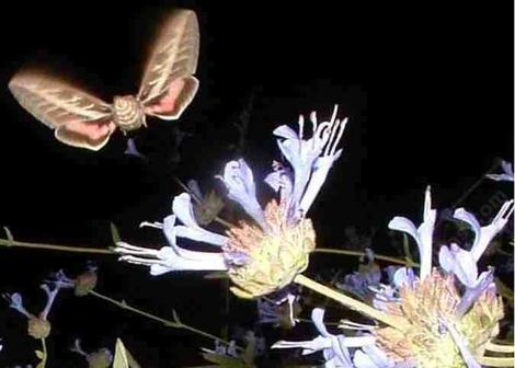 A sphinx Moth on a Salvia clevelandii. They work the flowers at dusk and right after dark, thus the flash. - grid24_12